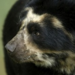 Our work to protect Andes ecosystems in South America includes ensuring survival of the spectacled bear