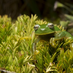 Our work to protect Andes ecosystems in South America includes ensuring survival of Buckley's Giant Glass Frog