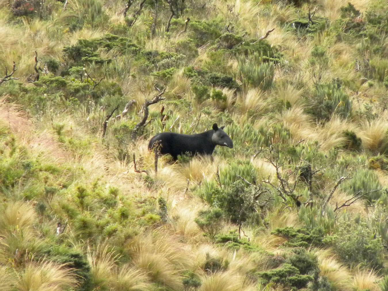The endangered mountain tapir
