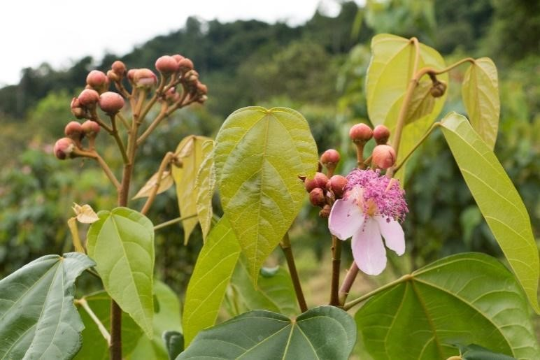 Achiote buds and flower. (Photo Credit: Matt Clark)