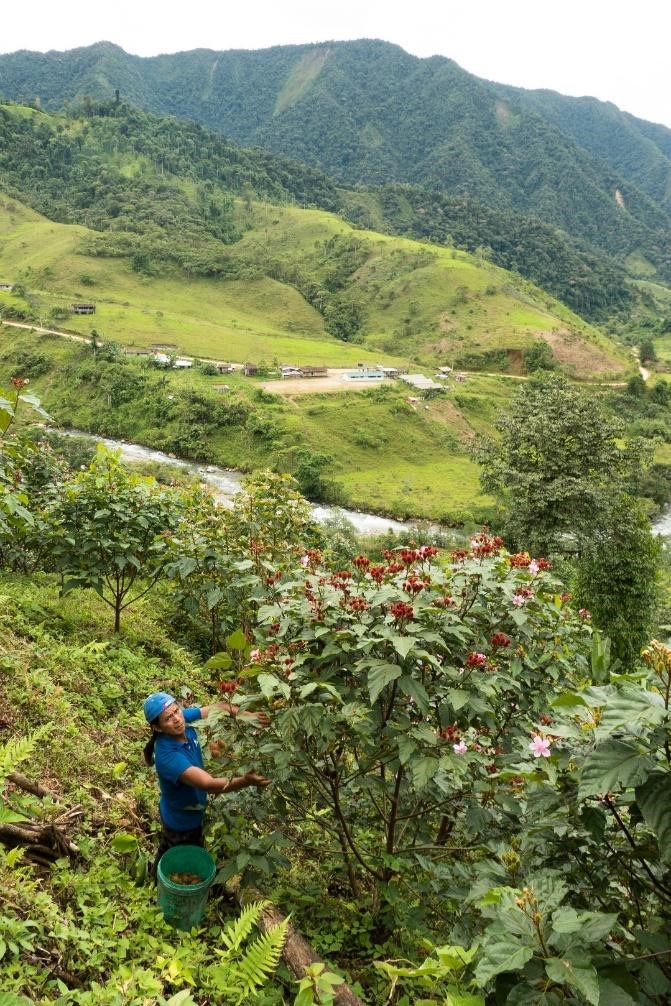 A Santa Cecilia resident harvesting achiote. Note the town in the background. Most of the deforestation in the picture is cattle pasture. (Photo Credit: Matt Clark)