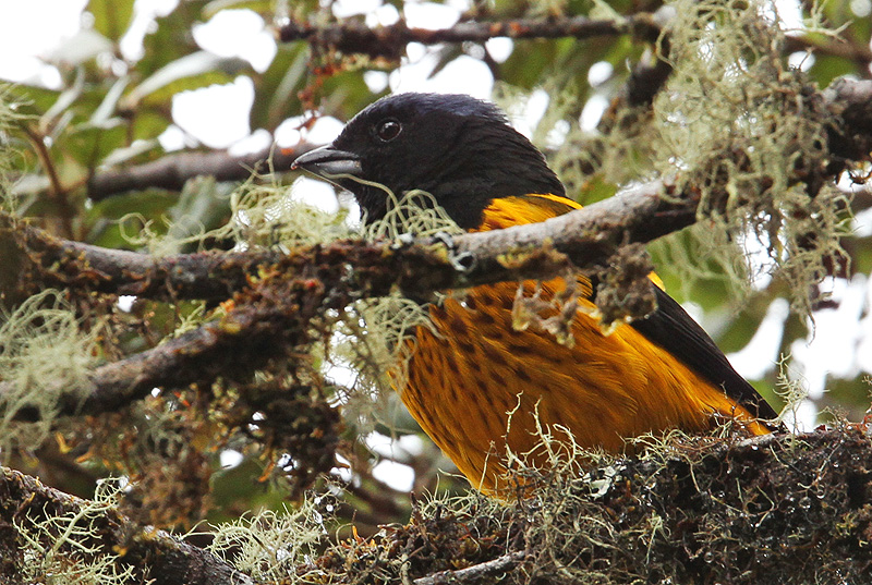 Golden-backed Mountain Tanager
