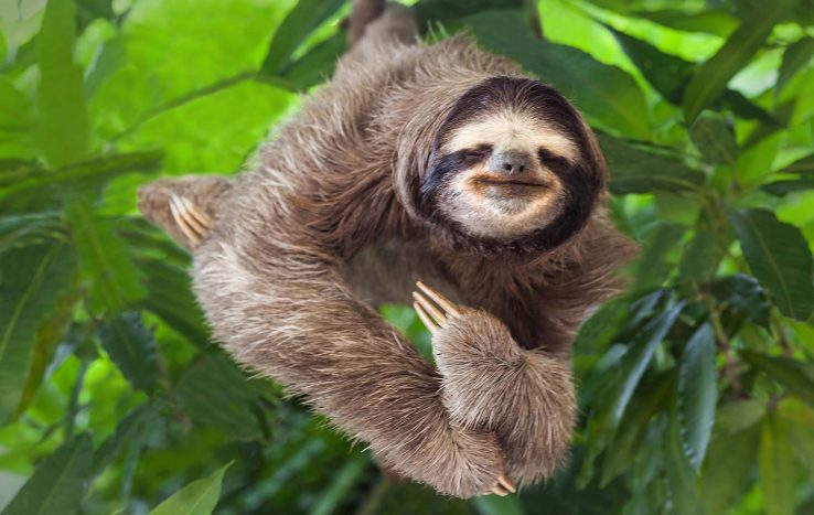 Amazon Rainforest -Arboreal Three-Toed Sloth