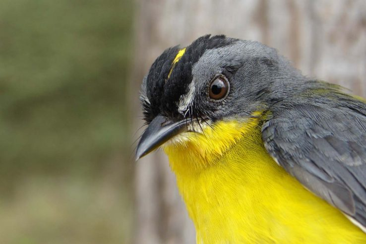 Deciduous Forest - Yellow Bird