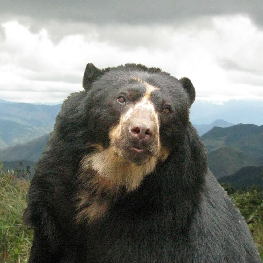 The threatened spectacled bear needs connected habitat to survive.