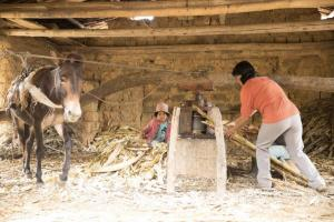 The Carrión family extracting raw sugar cane juice with a cane press.