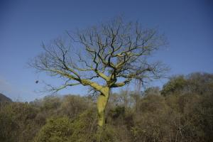 A ceiba tree in southern Ecuador's tropical dry forest. Photo by Nature and Culture conservationist Fabián Rodas.