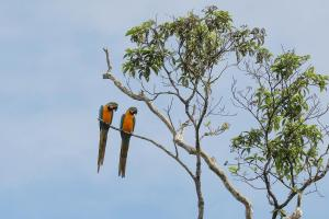 Blue-and-yellow Macaws on the Curaray River.