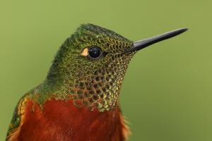 Chestnut-breasted coronet